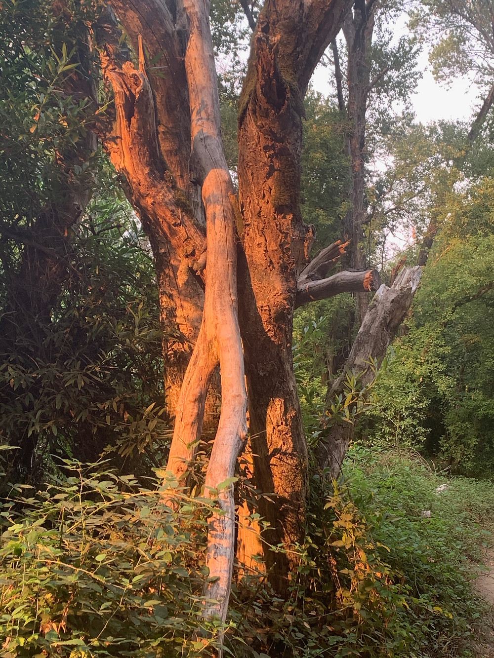 Tree trunks in sunset lighting at Henry Cowell State Park, Felton, California