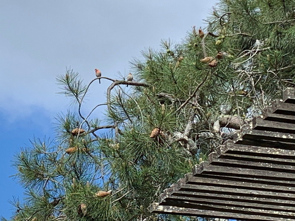 Knob cone pine branches with songbird. Ben Lomond, California