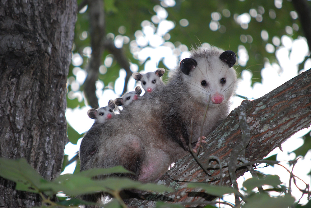 """""""Wild mother opossum with babies climbing tree"""""""