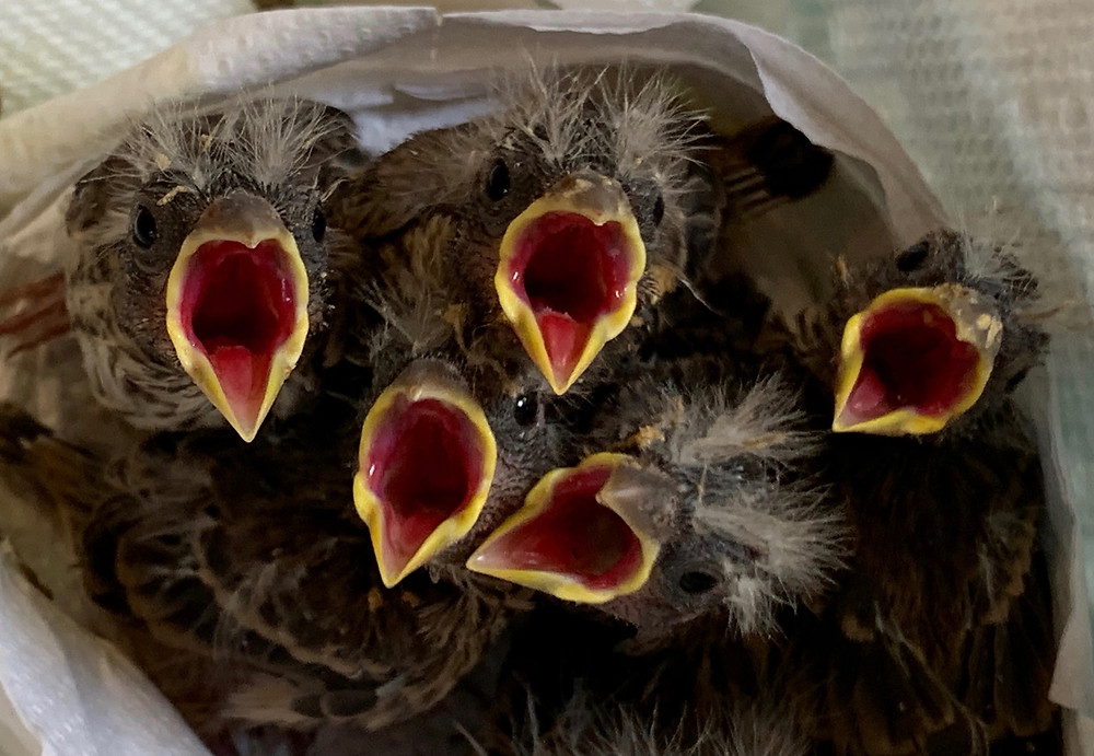 """""""Baby birds waiting for food at Native Animal Rescue"""""""