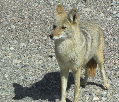 DV coyote close up .jpg