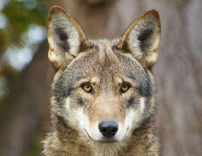 Red wolf - in danger of becoming extinct in the wild