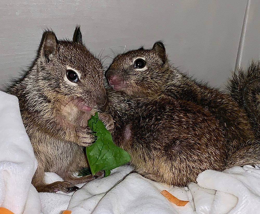 """Wild ground squirrels eating spinach leaf at Native Animal Rescue rehab center"""