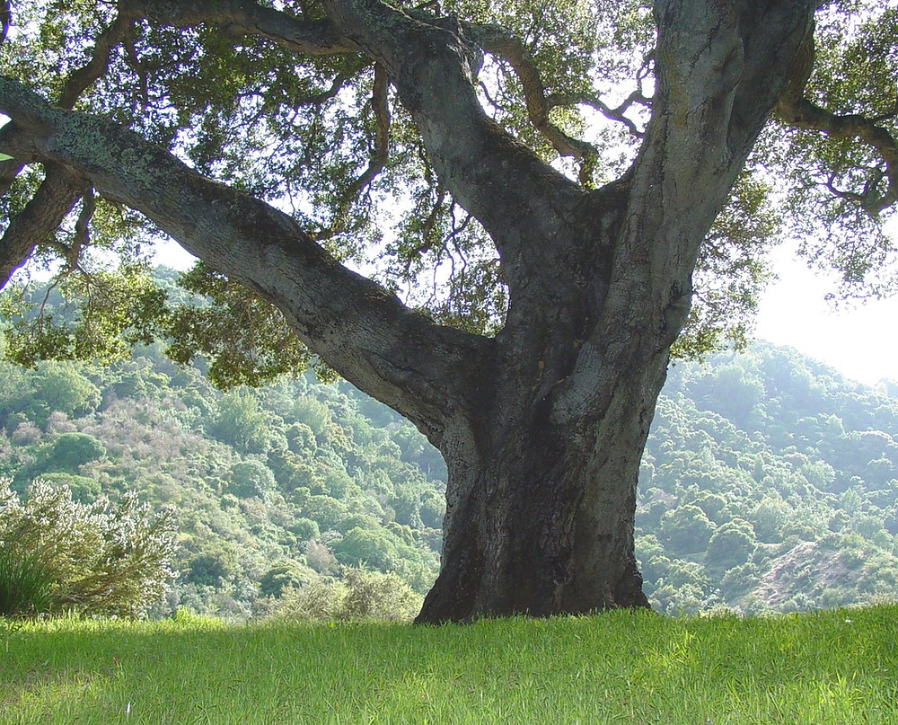 """California live oak in wild habitat setting"""