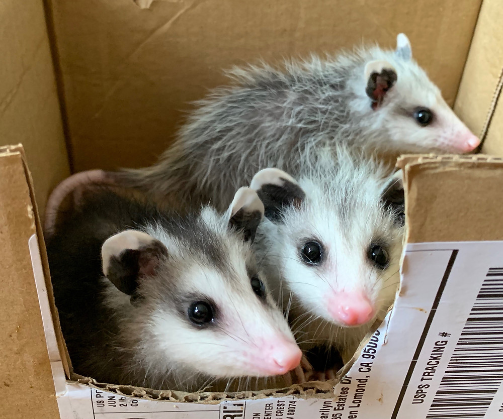 Three wild baby opossums gazing out of NAR cage