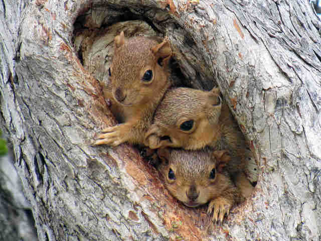 """Wild baby squirrels peeking from tree nest"""