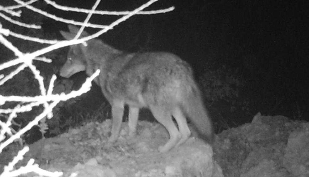 """Wildlife night photo of coyote on dirt ledge"""