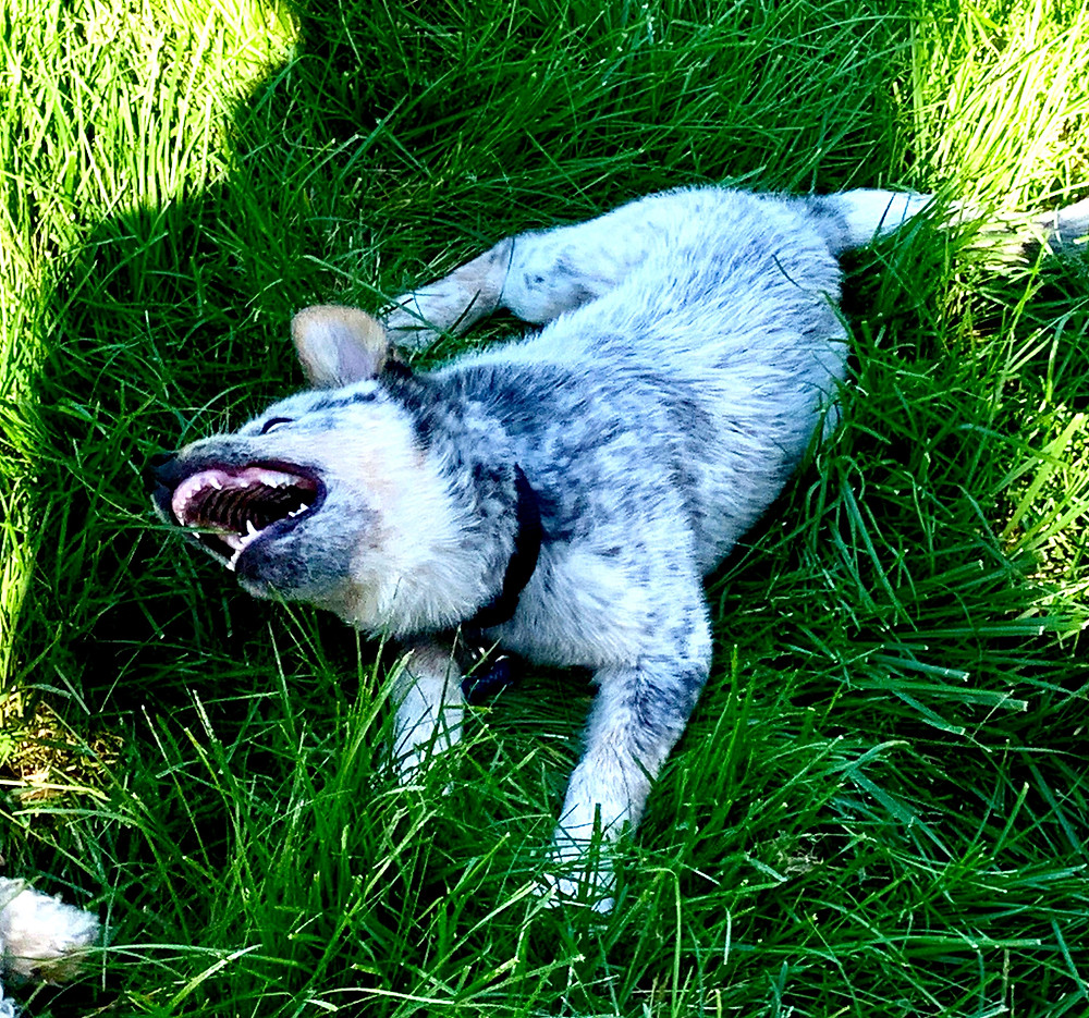 Fierce photo of Cattle Dog with canine teeth bared. Looks wild and feral