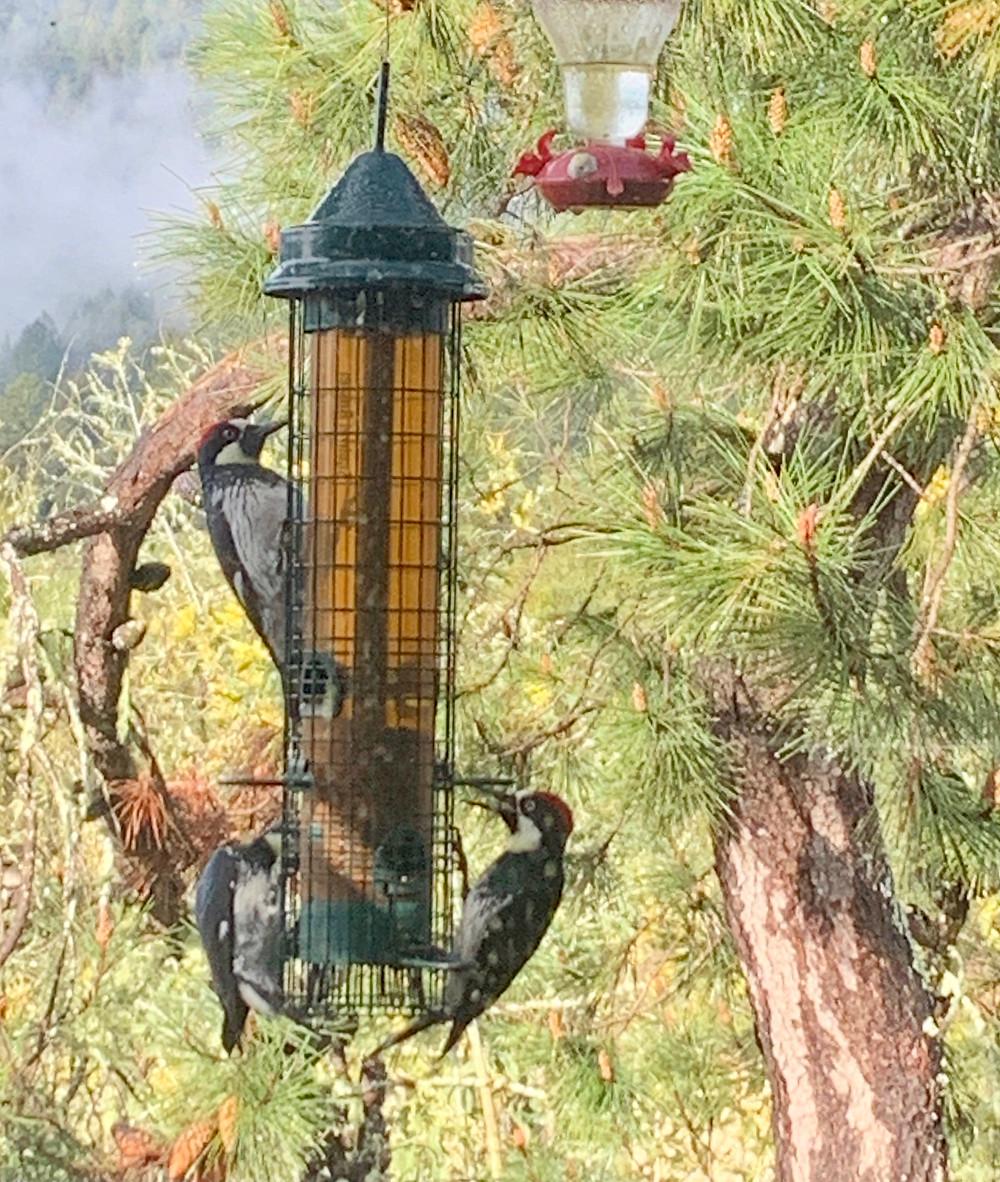 Acorn woodpeckers at bird feeder in Santa Cruz Mountains