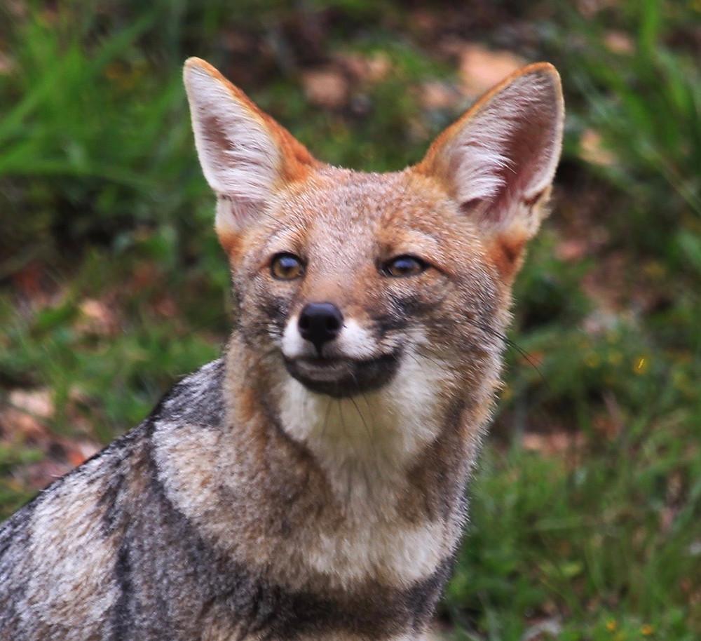 Wild fox head showing fur in ears