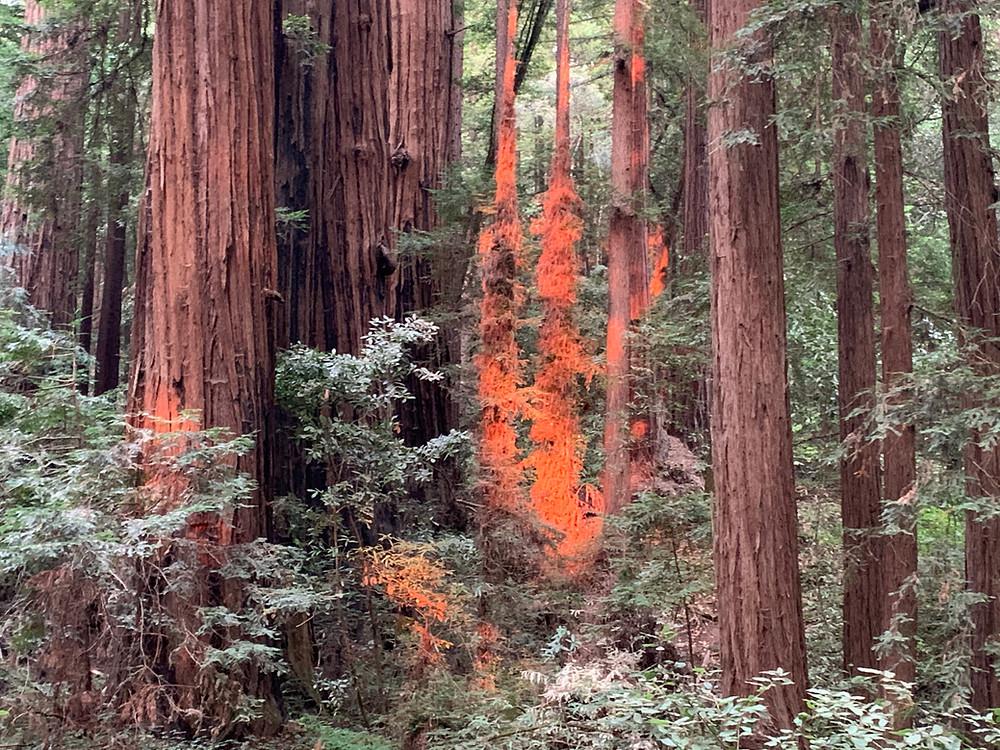 Brilliant reddish orange reflection on redwood tree trunks in Henry Cowell Redwood State Park, Felton, California