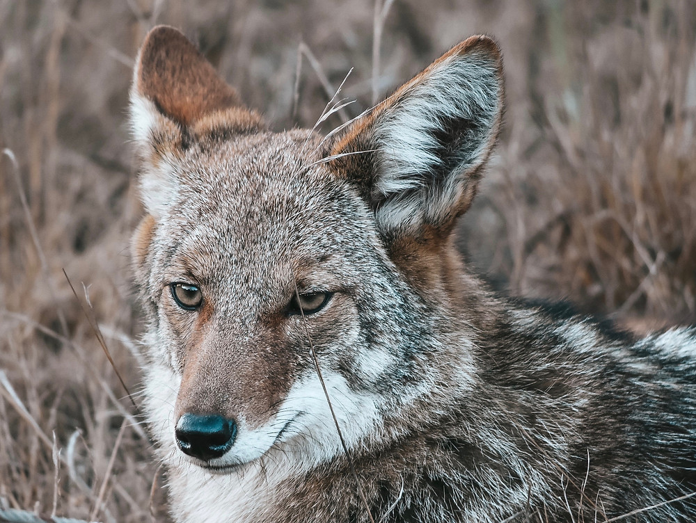 Wild coyote head with furry ears and eyes staring