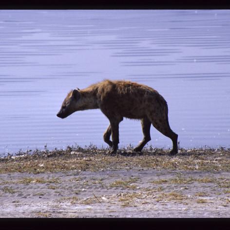 Hyäne im Tal