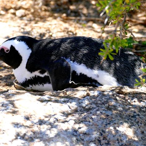 Pinguin, Cap der guten Hoffnung