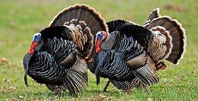 turkeys-wild-cp-00000892022.jpg