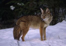 coyote1-jpg.jpg