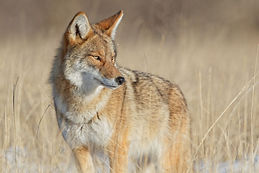 alert-coyote-survey-surroundings-in-beau