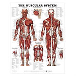 anatomy-chart-tag-muscle-fitness-bodybui
