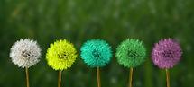 fleurs de pissenlit multicouleurs