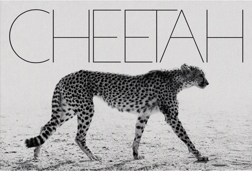 Mark Segal Cheetah