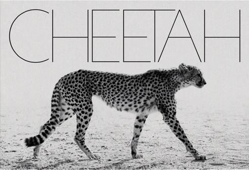 Mark Segal Cheetah