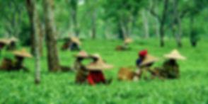 Tea-garden-1-750x375.jpg