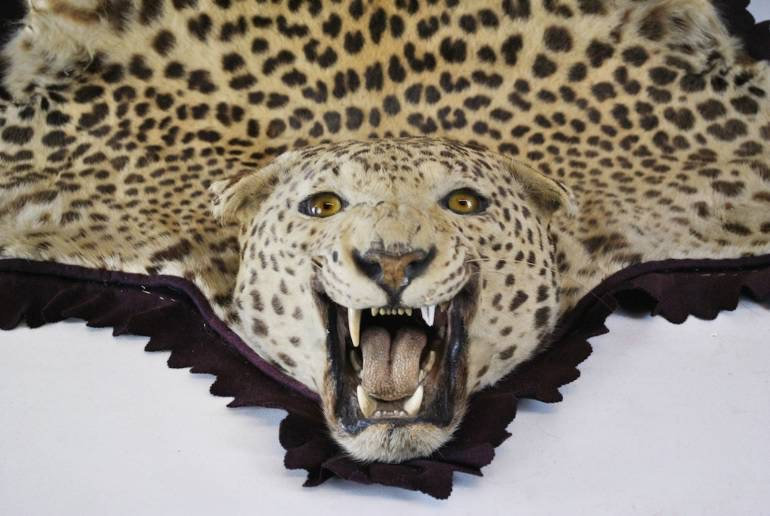 Rowland Ward Taxidermy Leopard SOLD