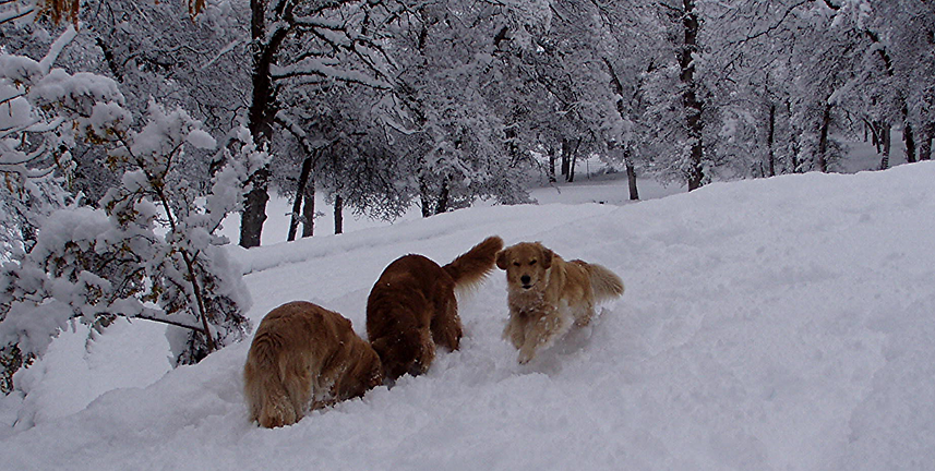 Some of our Golden Retriever Boys in the snow