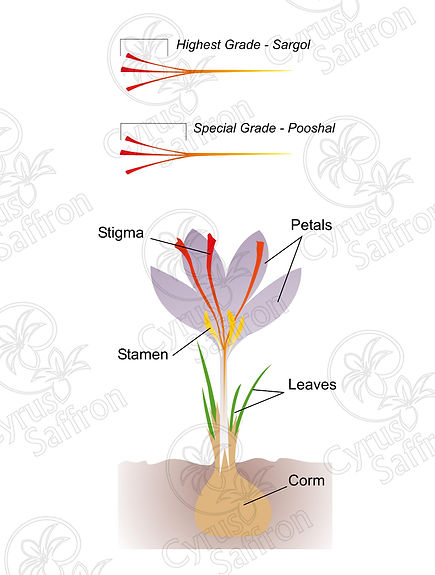 Saffron Chart