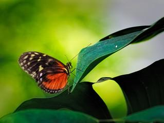 蝴蝶是锤角亚目中的物种的总称,或称蝶、蛱(现指蝴蝶中的一类)。以美丽的色彩和优美的飞舞姿态著称。与蛾一同为昆虫纲鳞翅目之下的一个家族,与其他昆虫不同的是身上长有大而耀眼的翅膀。蝴蝶翅膀一般色彩鲜艳,有