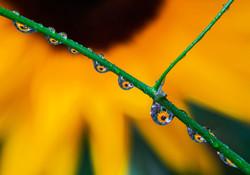 向日葵水滴