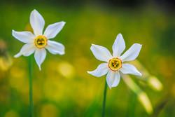 水仙花1.jpg