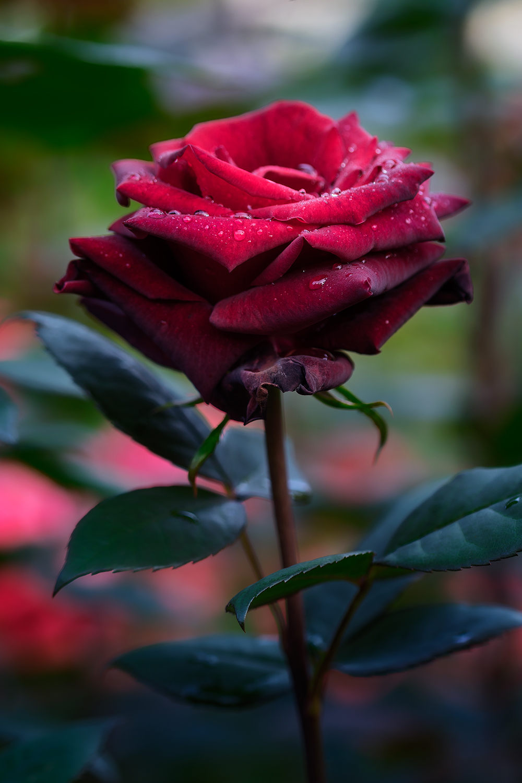 Rose21