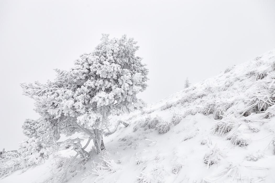 雪树.jpg