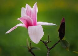magnolia12