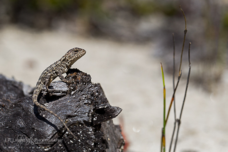 Baby Mountain Heath Dragon (Rankinia diemensis) from Royal National Park