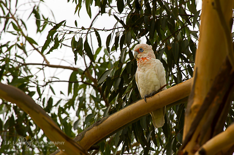 Long-Billed Corella roosting right outside my door