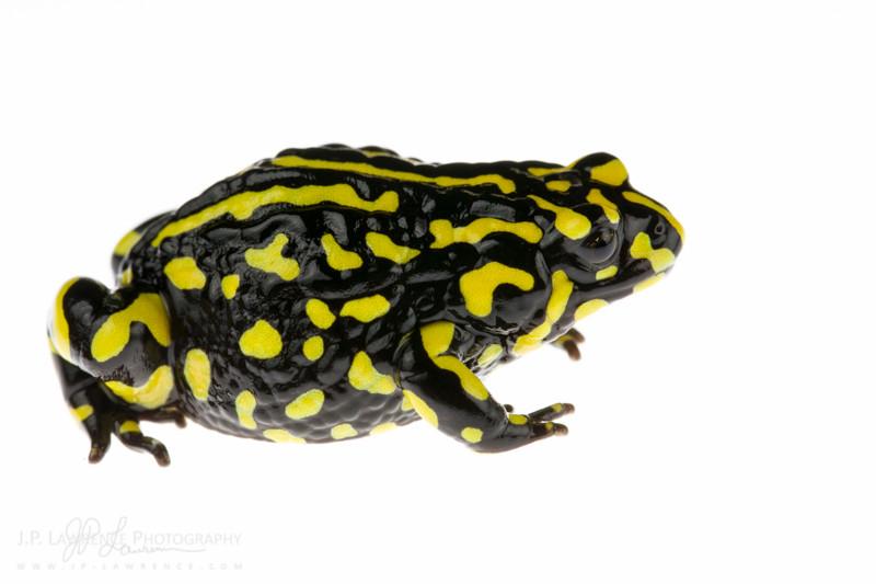 Corroboree Frog (Pseudophryne corroboree)