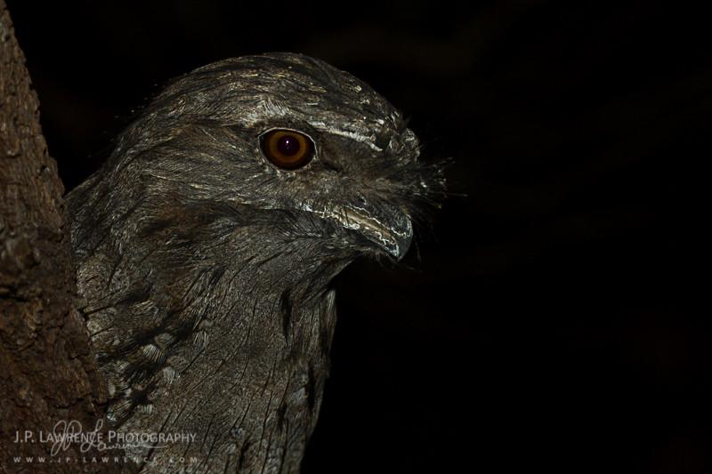 Tawny Frogmouth at Nawarntapu National Park