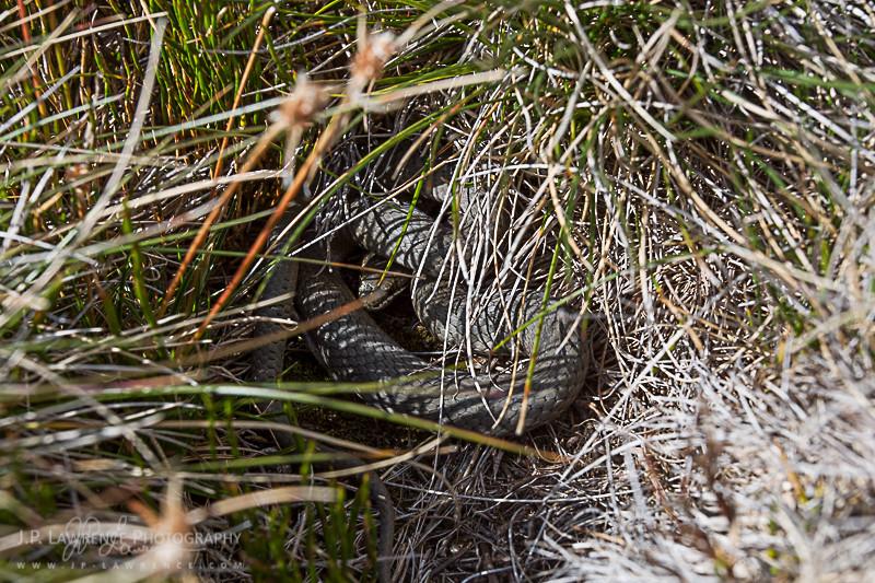 White Lipped Snake