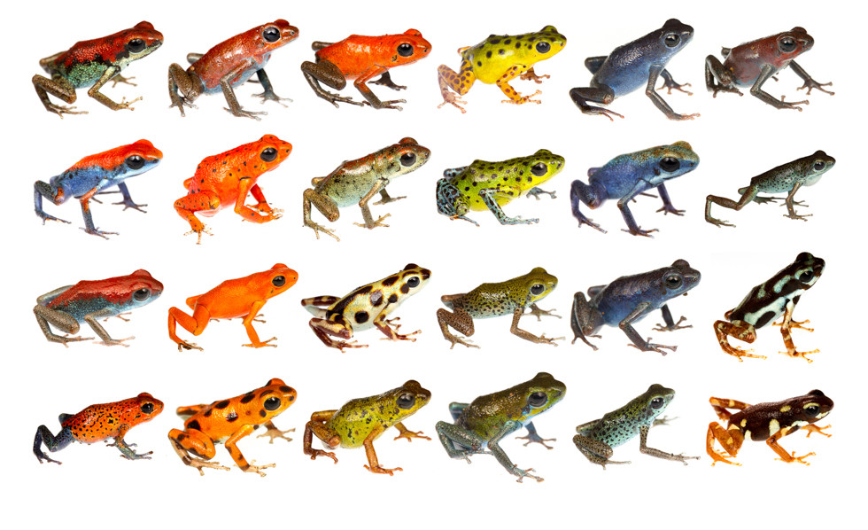 Example of color variation seen in the Strawberry Poison Frog