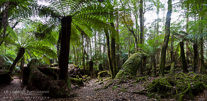 Tree ferns at Hartz Mountains National Park