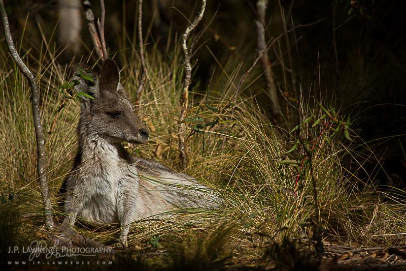 An Eastern Gray Kangaroo lounges at Tinbinbilla Nature Reserve