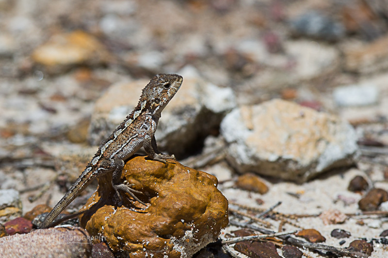 Adult Mountain Heath Dragon (Rankinia diemensis) from Royal National Park