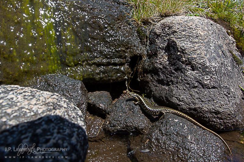 Alpine Water Skink (Eulamprus kosciuskoi)