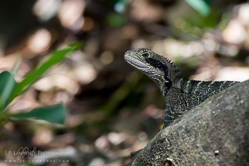 Eastern Water Dragon (Intellagama leseurii)