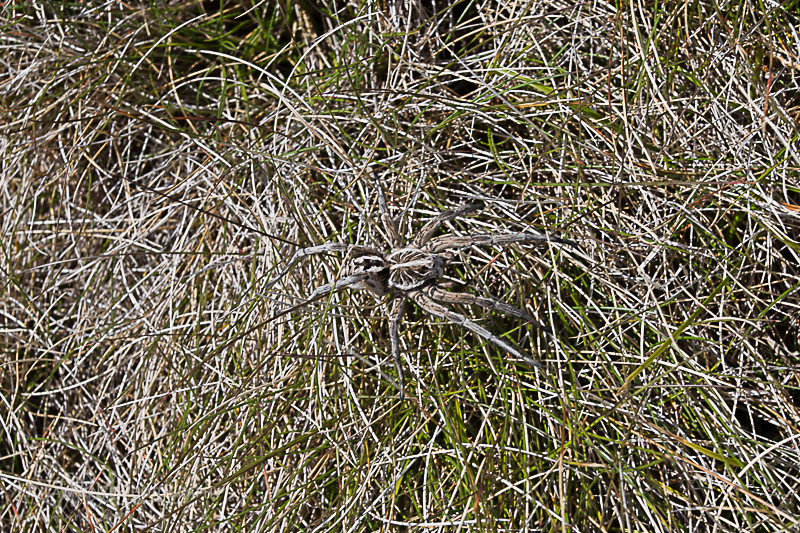 Rather large spider scared away by White-Lipped Snake