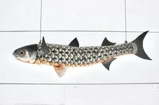 Fish_ Bora