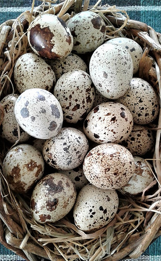 Standard Cage Free/Barn Quail Eggs – Pack of 6 Dozen