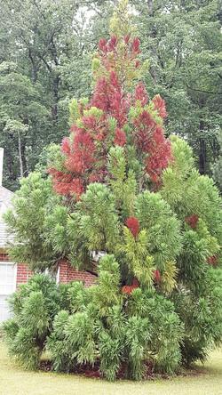 Japenese Cryptomeria Tree
